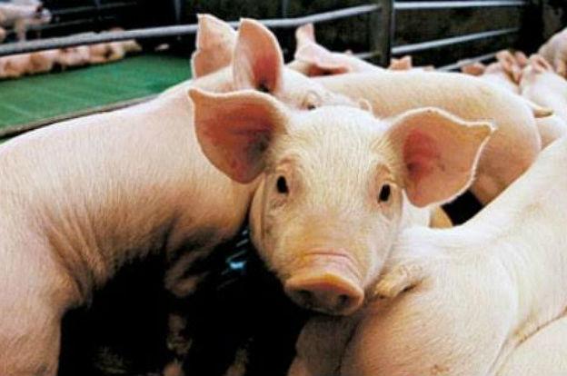 Decomisan 500 kilos de carnes y embutidos de cerdo