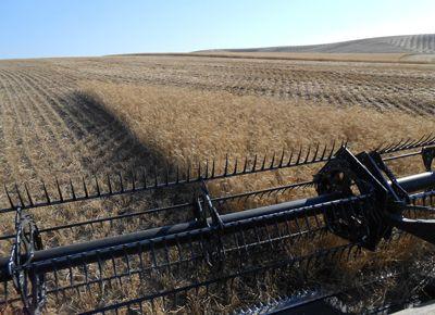 Las lluvias darían respiro para continuar con una cosecha de soja retrasada