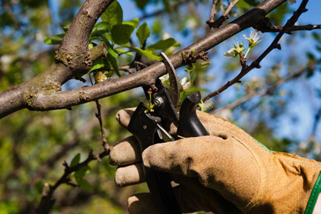Se realizara capacitación sobre poda de frutales