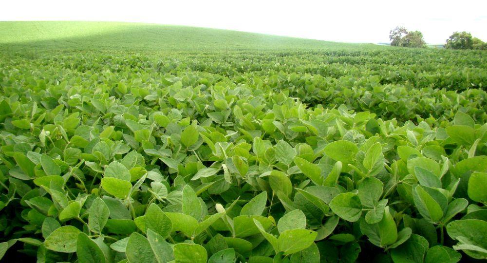 Dan por concluida la cosecha de soja con una marcada caída