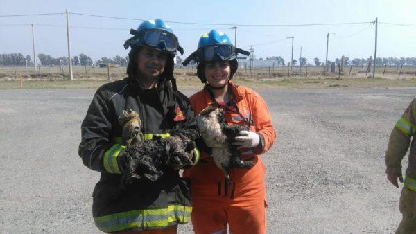 Bomberos Voluntarios de Laboulaye rescataron dos cachorros atrapados en brea