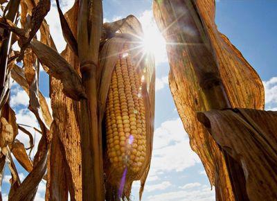 La región núcleo espera una campaña histórica para el maíz