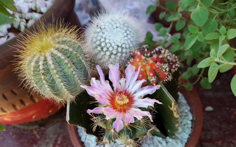 Se realizará en Capilla del Monte un encuentro para coleccionistas de cactus