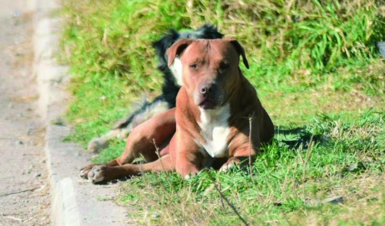 """VILLA NUEVA: buscan regular la tenencia de perros """"potencialmente peligrosos"""""""