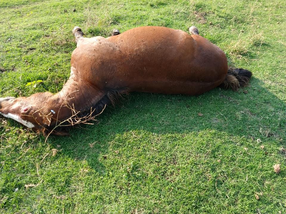 En Huinca, un rayo mató a dos caballos entrenados para equinoterapia