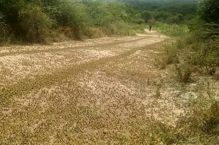 Detectan la presencia de langostas en nuevos sectores de traslasierra