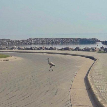 En plena cuarentena un flamenco salió a caminar por la costanera de Miramar de Ansenuza