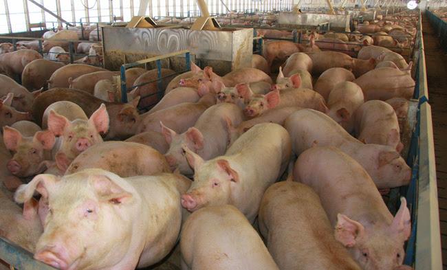 Cerdos para todos.
